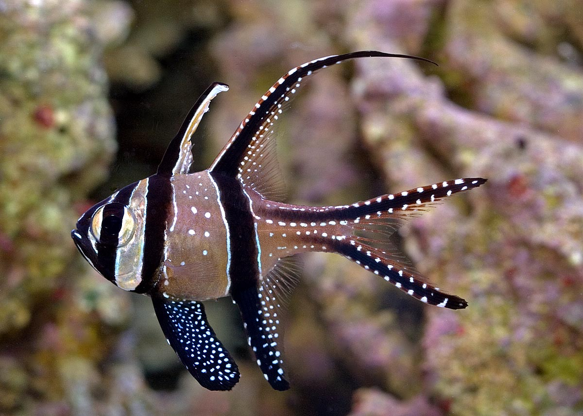 Photo of Describing Banggai Cardinalfish