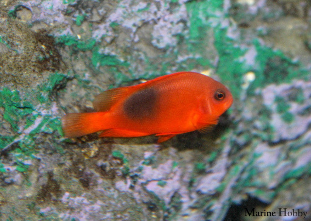 Photo of Flash red is the fire clownfish