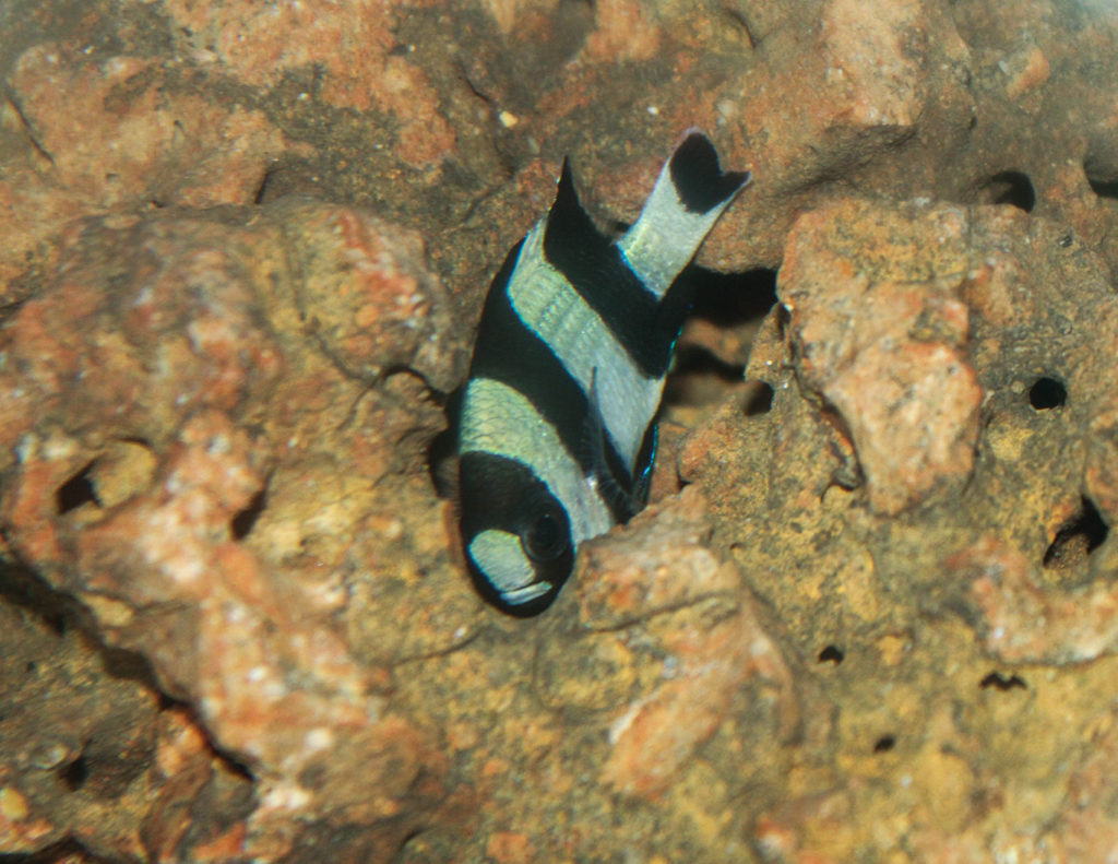 Photo of Four Stripe Damselfish from the Western Pacific