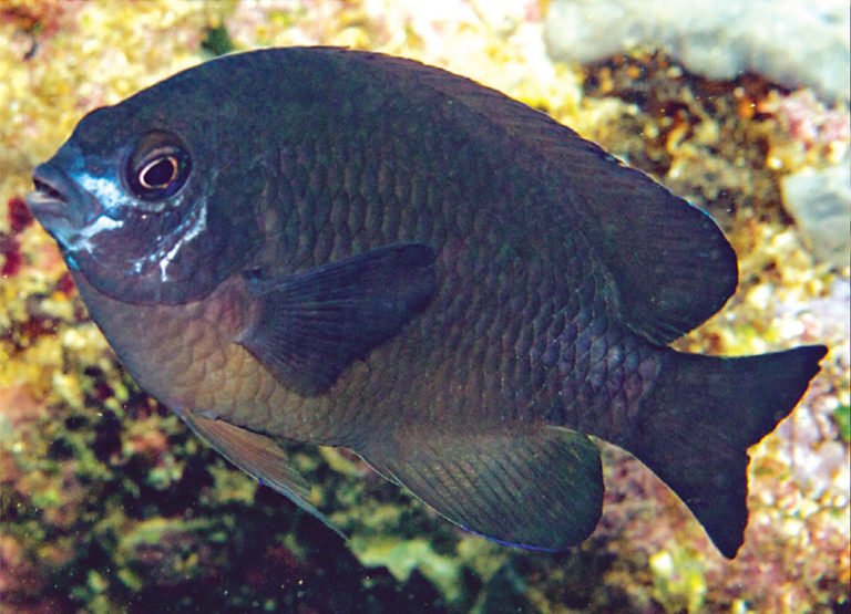 Photo of Pomacentrus bellipictus new species of damselfish was found in sea of Indonesia