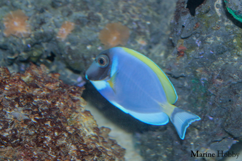 Photo of Grace of the powder blue tang