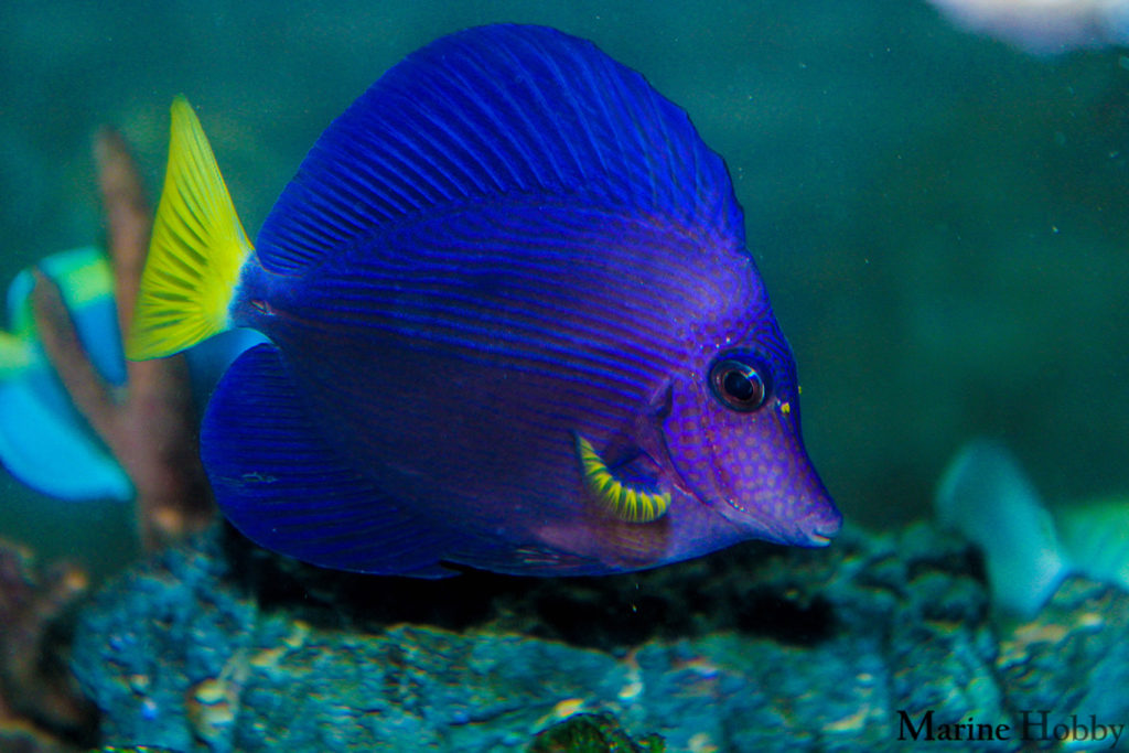Photo of Pretty little purple tang