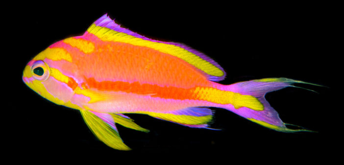 Photo of Tosanoides annepatrice, a new basslet from coral reefs of Micronesia