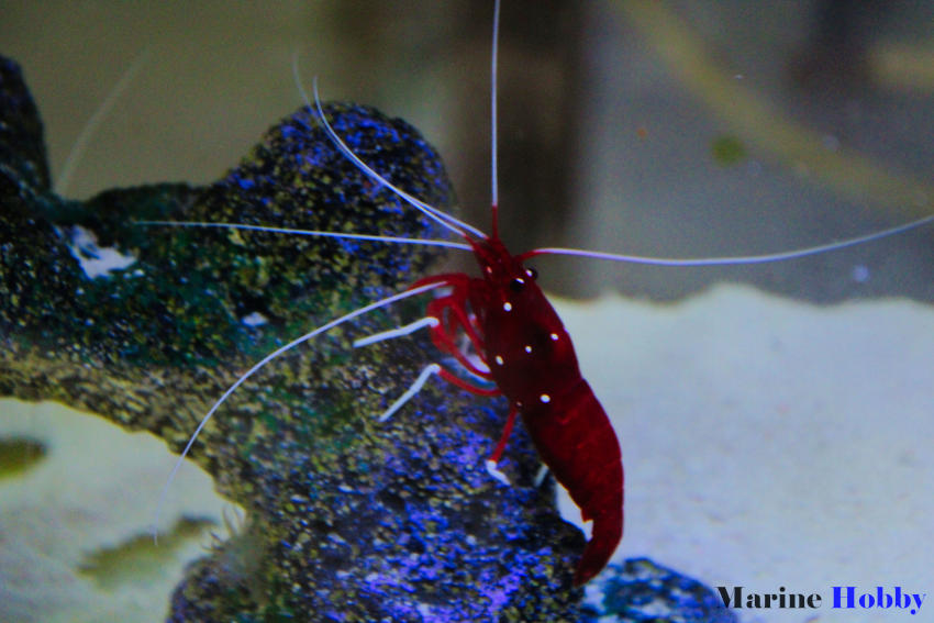 Photo of Popular fire shrimp or the bloody shrimp with bright red in color