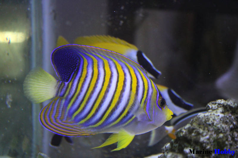 Photo of Regal Angelfish is vibrant with its multi stripes