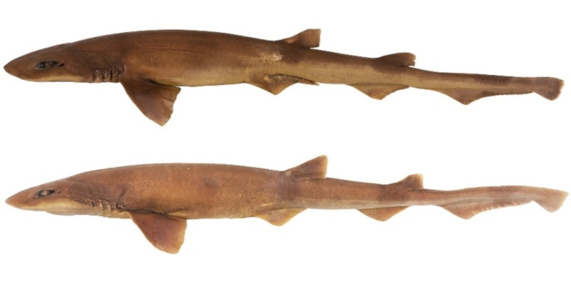 Photo of Bythaelurus stewarti, A new deep-water catshark from northwestern Indian Ocean