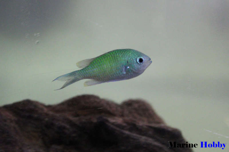 Photo of The Blue Green Chromis (Chromis viridis) an excellent schooling fish