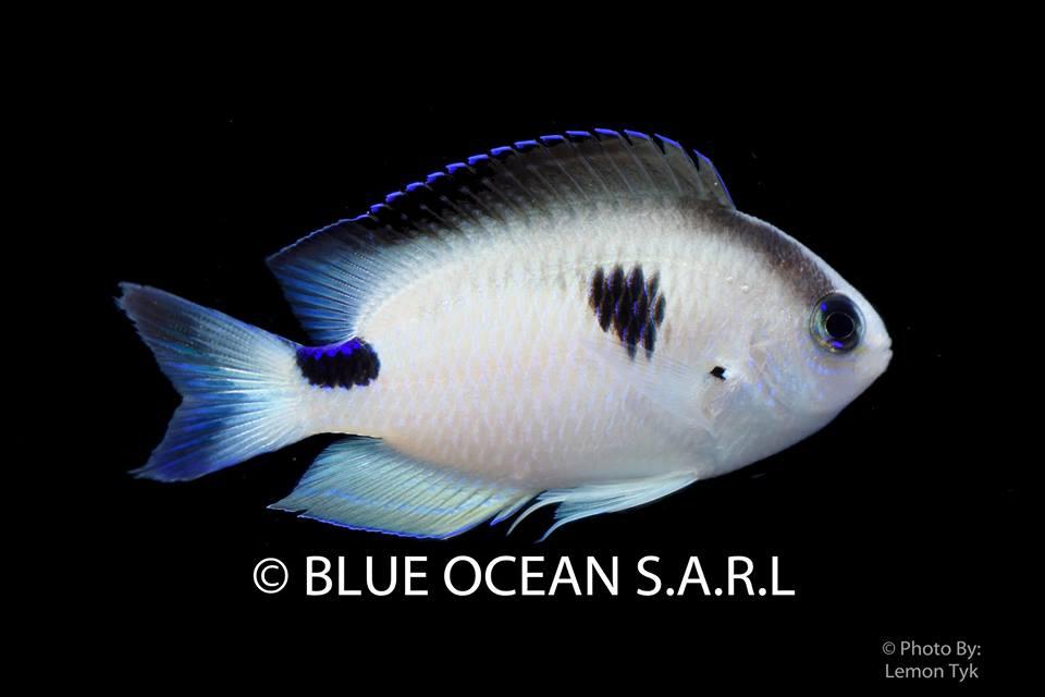 Photo of New Chrysiptera Damselfish by Blue Ocean SARL from Madagascar