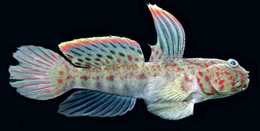 Photo of Cryptocentrus altipinna, New Goby from the Indian Ocean