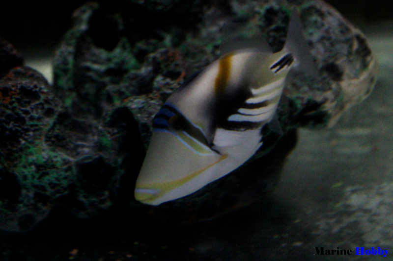 Photo of All about Picasso triggerfish (Rhinecanthus aculeatus)