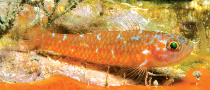 Photo of Trimma christianeae, New goby from the Papua New Guinea
