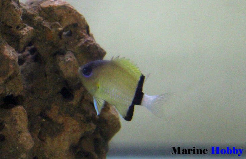 Photo of The Black Bar Chromis (Chromis retrofasciata)
