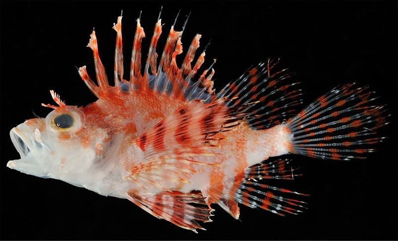 Photo of Dendrochirus koyo, A new dwarf lionfish from Japan