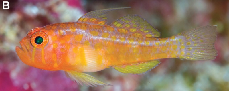 Photo of Trimma putrai, A new species of goby from the Indonesia and Timor-Leste