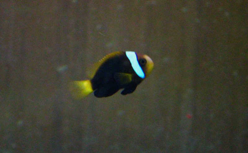 Photo of Cinnamon Clownfish (Amphiprion melanopus)