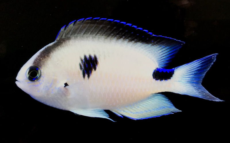 Photo of Madagascar Damselfish, New Species on LiveAquaria