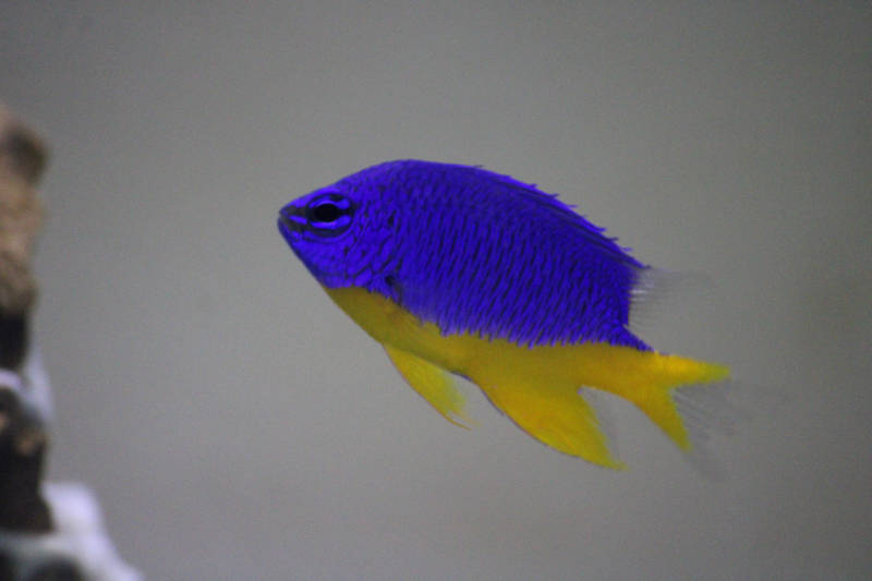 Photo of Azure Damselfish (Chrysiptera hemicyanea)