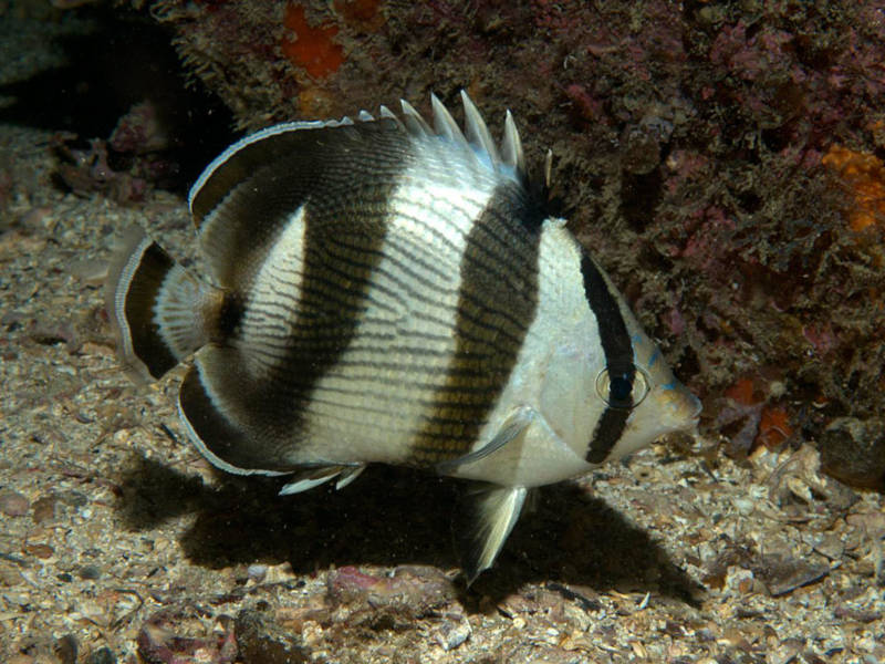Banded butterflyfish (Chaetodon striatus) Successful Aquaculture