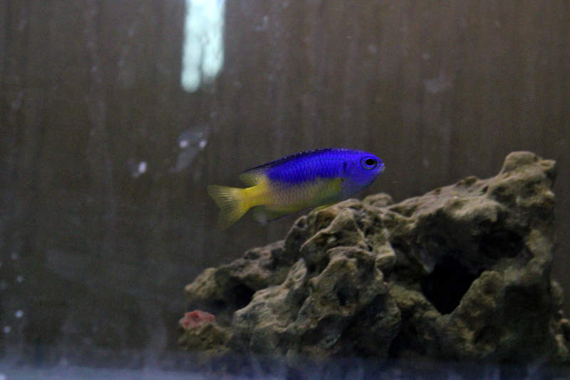 Photo of Blue and Yellow Damselfish (Pomacentrus coelestis)