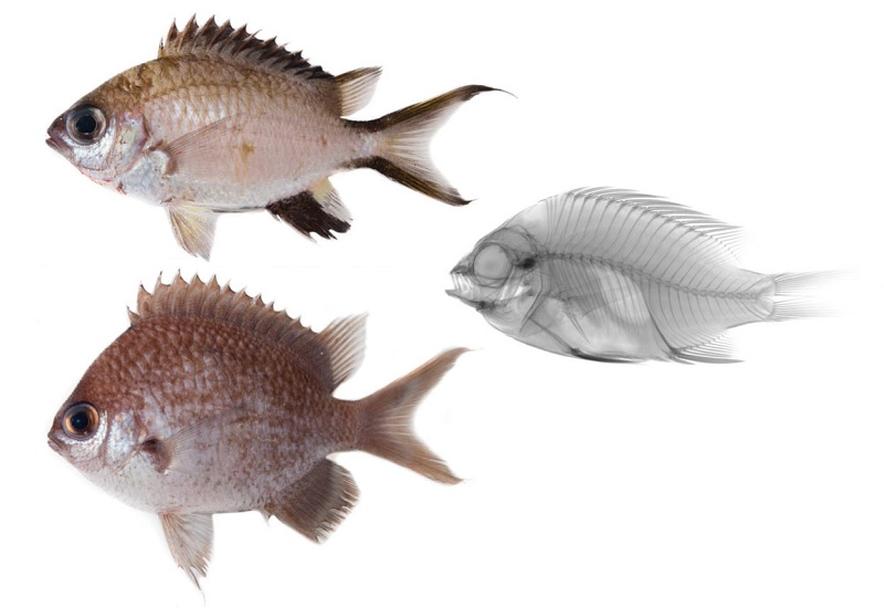 Photo of Three new species of Chromis from the Philippines