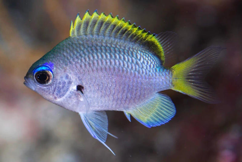 Photo of Chromis tingting, a New Species of Damselfish from Southern Japan
