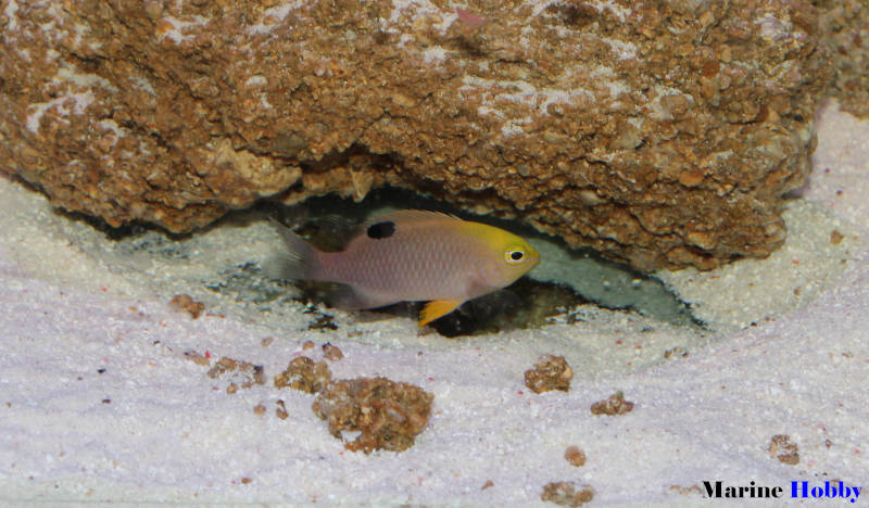Photo of Talbot damselfish (Chrysiptera talboti)