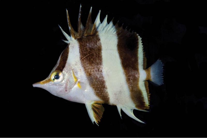 Photo of Prognathodes geminus the New Butterflyfish