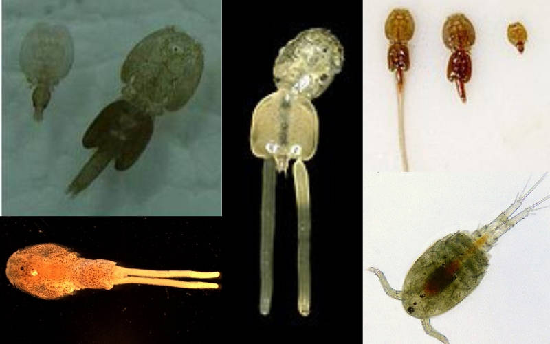 Photo of Quarantine Your Fish, Survey on Parasitic copepods