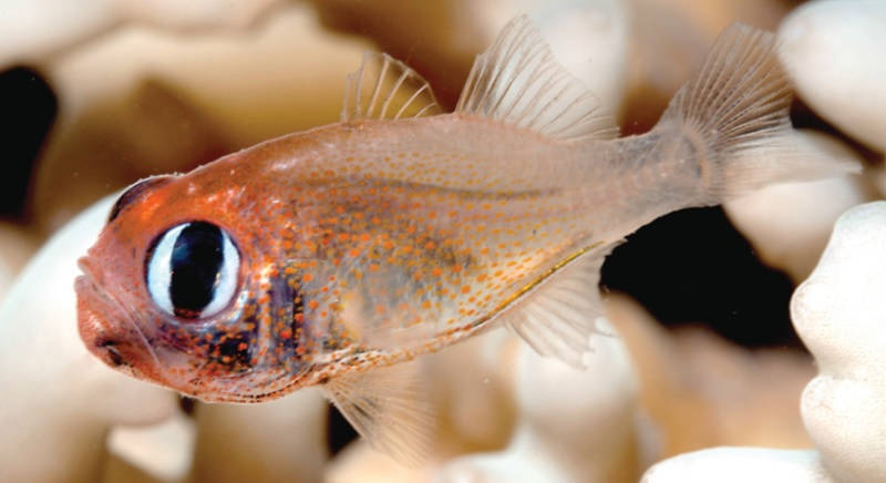 Photo of Siphamia arnazae, A New Species of Cardinalfish