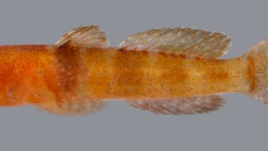Photo of Hetereleotris aurantiaca, New Goby From The Red Sea