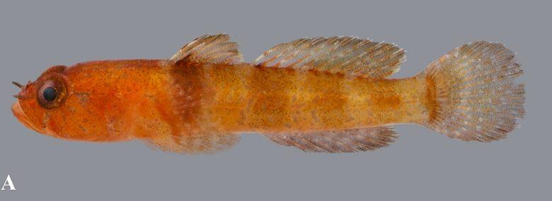 Hetereleotris aurantiaca