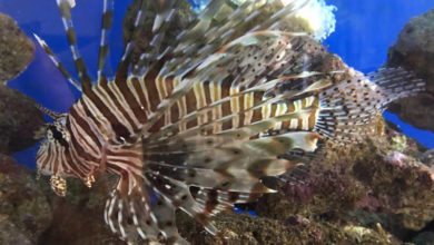 Photo of Pterois volitans and Pterois miles, The Lionfish