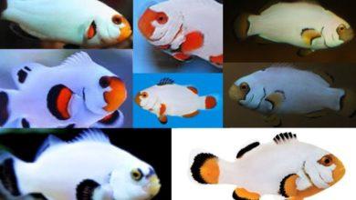 Photo of Platinum Clownfish, Step Towards Sustainability