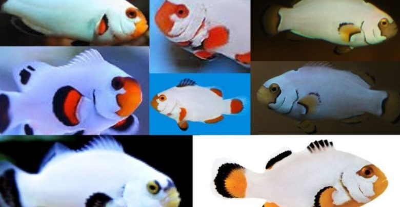 Platinum Clownfish