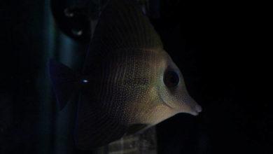 Photo of Scopas Tang (Zebrasoma scopas)