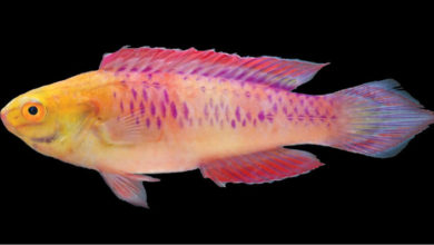 Photo of Cirrhilabrus wakanda, A New Fairy Wrasse From The Zanzibar Island