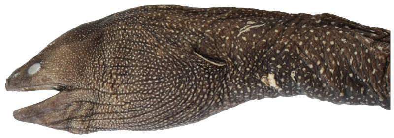 Gymnothorax smithi