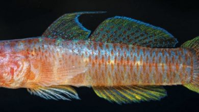 Photo of Sueviota minersorum, A New Species of Sponge-Dwelling Goby from Indonesia