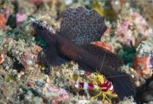 Photo of Tomiyamichthys emilyae, A New Species of Shrimpgoby from Indonesia