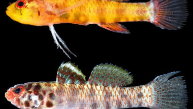 Photo of Eviota amamiko and Eviota perspicilla, Two New Dwarfgobies from Japan