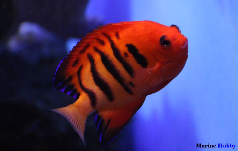 Flame-angelfish-Centropyge-loriculus-1