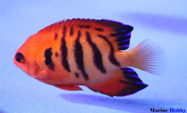 Flame-angelfish-Centropyge-loriculus