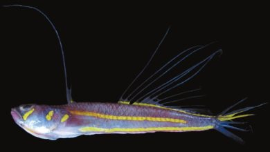 Photo of Pteropsaron indicum, A New Species of Signalfish from Lakshadweep
