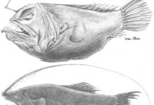 Photo of Oneirodes formosanus and Gigantactis cheni, Two new deep-sea anglerfishes from Taiwan